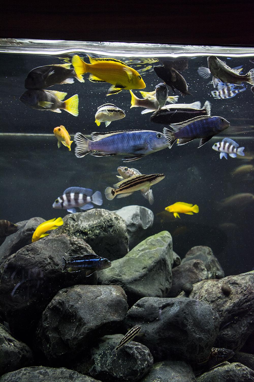 akwarium malawi