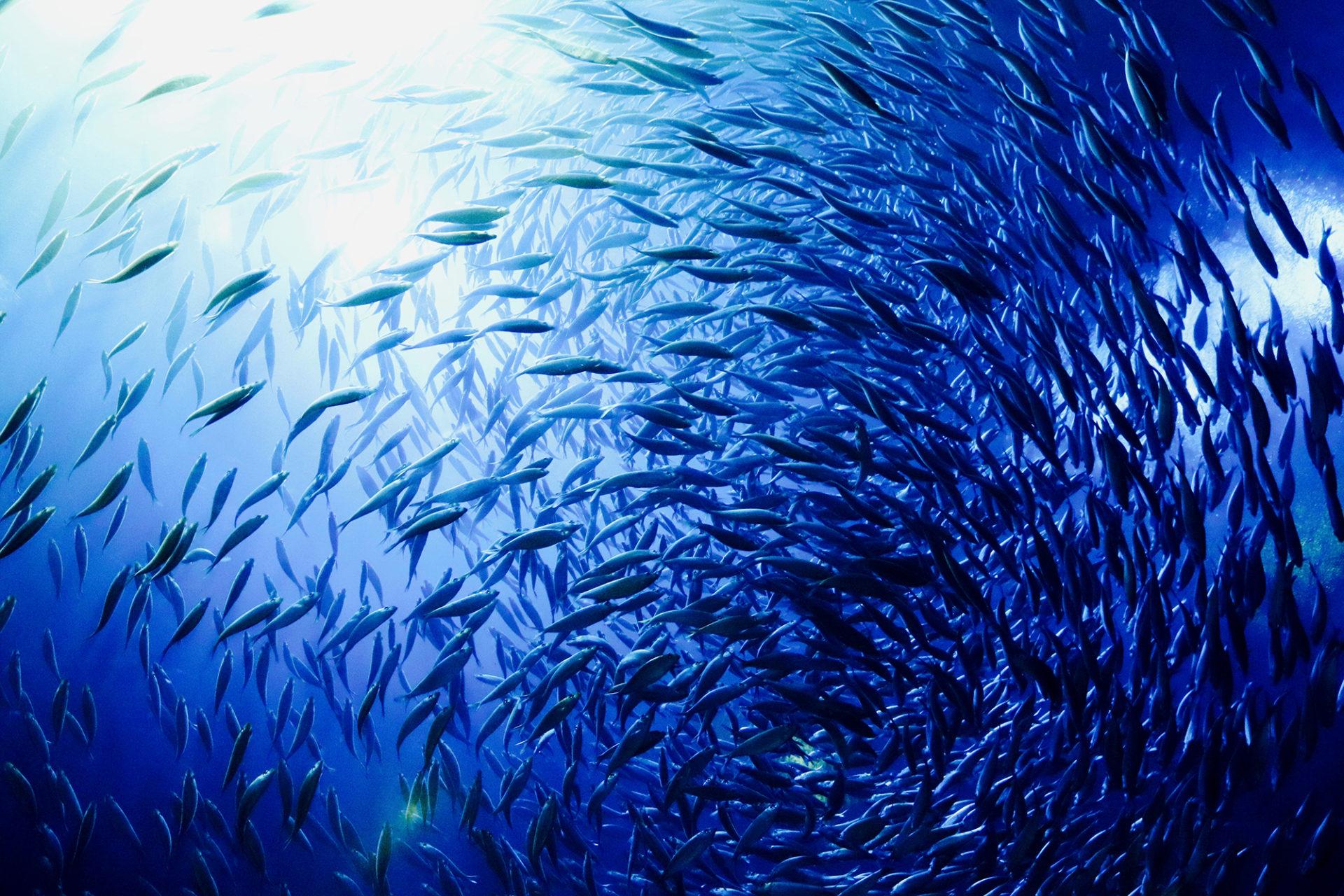 ławica ryb morskich